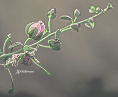 Romance (haidarism (Ahmed Alhaidari)) Tags: romance romantic rose flower bud plant bokeh outdoor nature depthoffield sonya65 macro macrophotography green leaf art artistic create creation creative