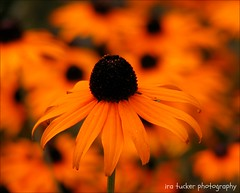The proper means of increasing the love we bear our native country is.... (itucker, thanks for 4+ million views!) Tags: rudbeckia macro bokeh hbw dukegardens