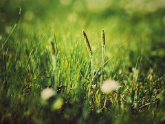 The Scent of Spring (Jon-F, themachine) Tags: jonfu 2016 olympus omd em5markii em5ii em5mkii em5mk2 em5mark2  mirrorless mirrorlesscamera microfourthirds micro43 m43 mft ft      snapseed japan  nihon nippon   japn  japo xapn asia  asian fareast orient oriental aichi   chubu chuubu   nagoya  outdoors  nature  plants  grass