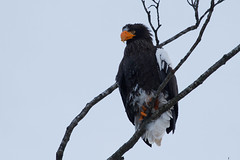 Twilight Eagle - Stellers Sea Eagle, apparently with a damaged or deformed bill......