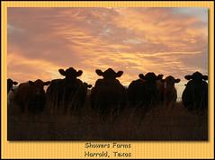 Texas Sunset (jscott2066) Tags: wild photography cowboy texas cows ngc farming sunsets texasstatefair farms twop texassunsets wilbargercounty harroldtexas
