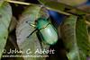 20101003_1459 (Abbott Nature Photography) Tags: arthropoda coleopterabeetle hexapoda insect invertebrates scarabaeidae behavior mcdonaldobservatoryfortdavis tx unitedstates