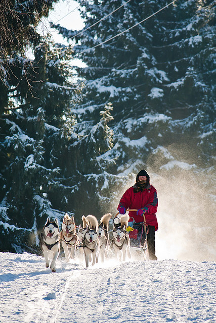 Dogs with musher