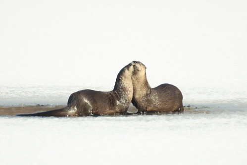 Smooching Otters