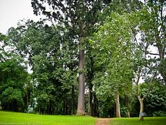 Огромное дерево