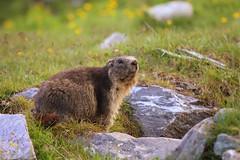 Mr. Marmot (ionut iordache) Tags: canon austria österreich bokeh carinthia marmot canonef70200mmf28lusm alpinemarmot marmotamarmota canoneos50d canon50d grossglocknerhighalpineroad grosglocknerhochalpenstrase