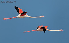 Greater Flamingo   -  () Tags: bird flamingo bin greater sultan qatar     wachers