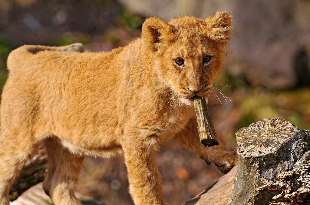 Cub with a piece of wood