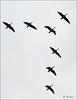 Grauwe Ganzen in V_4837 (Anne_mie) Tags: belgie bree anseranser grauweganzen deluysen vvlucht
