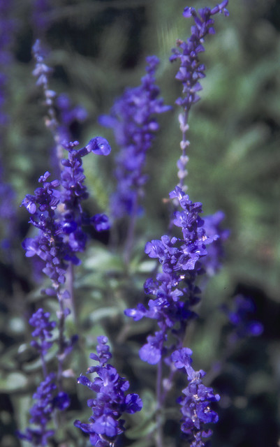 青い花のフリー写真素材
