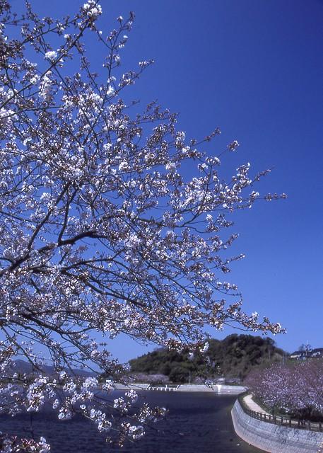 桜と風景のフリー写真素材