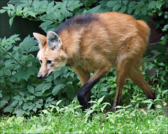 Maned Wolf (Foto Martien (thanks for over 2.000.000 views)) Tags: holland adam peru southamerica netherlands dutch amsterdam zoo nederland paraguay oma mokum artis noordholland dierentuin dierenpark northernargentina manedwolf canid canidae chrysocyonbrachyurus guar mhnenwolf loboguar manenwolf a550 aguarguaz loupcrinire lobodecrin easternbolivia borochi lobovermelho southeasternbrazil martienuiterweerd martienarnhem sony70300gssmlens sonyalpha550 mygearandme fotomartien