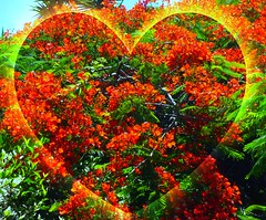 Happy Valentine's Day! (peggyhr) Tags: flowers blue friends brazil sky orange green leaves dedication yellow niceshot heart pa flametree gulmohar flamboyanttree royalpoinciana peacockflower topshots happyvalentinessday 25faves natureplus saveearth colorphotoaward youvegottalent peggyhr heartawards artistspotlight peaceawards natureselegantshots highqualityimages 100commentgroup grouptripod doubledragonawards colorphotoawardpremier photographerparadise artofimages flickraward 5bilderprotag5picsaday mostbeautifulpictures naturesprime pegasusaward bestpeopleschoice mygearandme artwithoutend flickrsportal lomejordemisamigos avpa1maingroup level1photographyforrecreation blinkagainforinterestingimages 3rflex1compactasanvalentn p1200242ap tropicalornamentaltree
