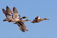 IMG_4555 Mallards in flight (lois manowitz) Tags: arizona tucson ducks