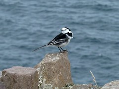 Pied Wagtail - Lavandera Blanca - Ballerina Bianca - Bergeronnette Grise, Ireland (Motacilla Alba Yarrellii) (Sir Francis Canker Photography ) Tags: ireland wild naturaleza white cute bird nature beautiful animal fauna photography nice ballerina europe foto shot alba wildlife watch dingle adorable free icon best ring blanca hide ave stunning pajaro bianca pied ever ornithology birdwatching icono birder passaro vogel oiseaux irlanda watcher avifauna uccello wagtail  lucena ku lavandera arenzano motacilla   yarrellii  grise ringofdingle  ornitologia  bachstelze bergeronnette cuereta sirfranciscankerjones aguzanieves tz10 zs7  pacocabezalopez