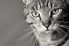 ... may look at a king (lesbru) Tags: portrait sepia cat interior tabby naturallight henderson d300 105mm moggie