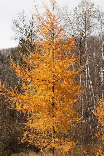Autumn Tamaracks  03.jpg