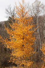 Autumn Tamaracks  03.jpg (Andre Reno Sanborn) Tags: americanlarch larixlaricina easternlarch hackmatack tamaracktree