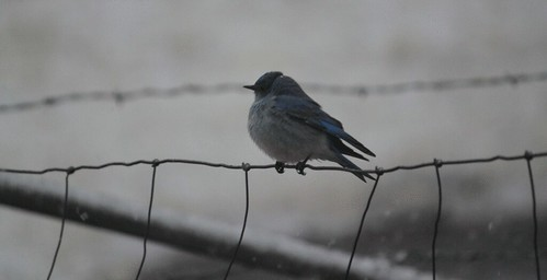 blue-bird-in-snow-(29)