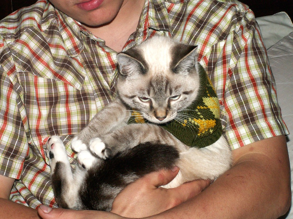 Pieces the Cat Wearing a Delightful Sweater