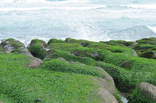 綠色海藻,石蓴