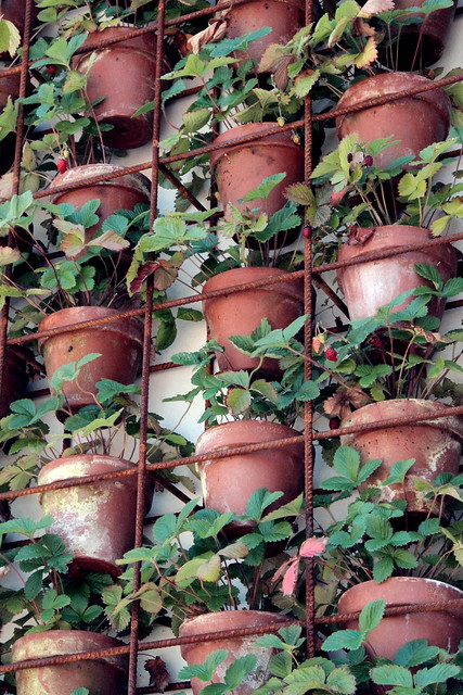 greenhouse - vertical strawberry pots