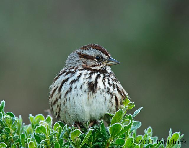 Frosty sparrow
