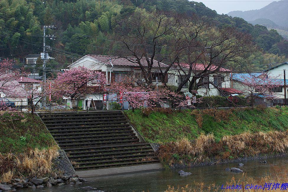 2011伊豆河津櫻