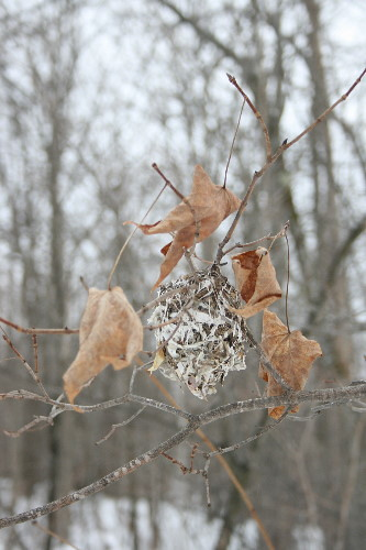 Red-eyed Vireo nest