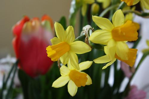 flowers--daffodils