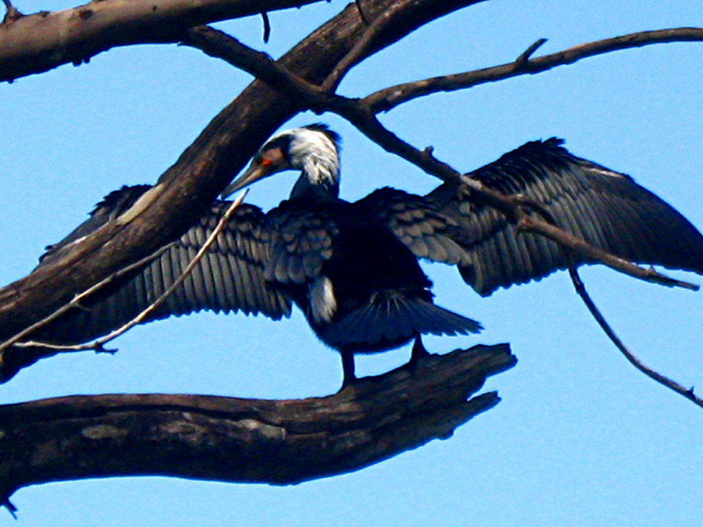 05-03-2011-d-mighty-cormorant