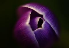 Purple Dream (AnyMotion) Tags: flowers plants macro primavera floral colors garden spring colours purple blossom frankfurt ngc crocus lila makro blte garten printemps fa krokus farben frhling doublefantasy 2011 makroaufnahmen anymotion canoneos5dmarkii 5d2