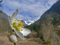 "8 marzo (perplesso42) Tags: flowers friend slovenia fiori elleboro 8marzo naturesfinest masterphotos natureplus abigfave zabrajda bausica vanagram ""flickraward"" gfeffe bbng"