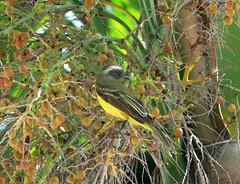 Suelda Social, Social Flycatcher (Myiozetetes similis) (Francisco Piedrahita) Tags: birds colombia aves socialflycatcher myiozetetessimilis sueldasocial