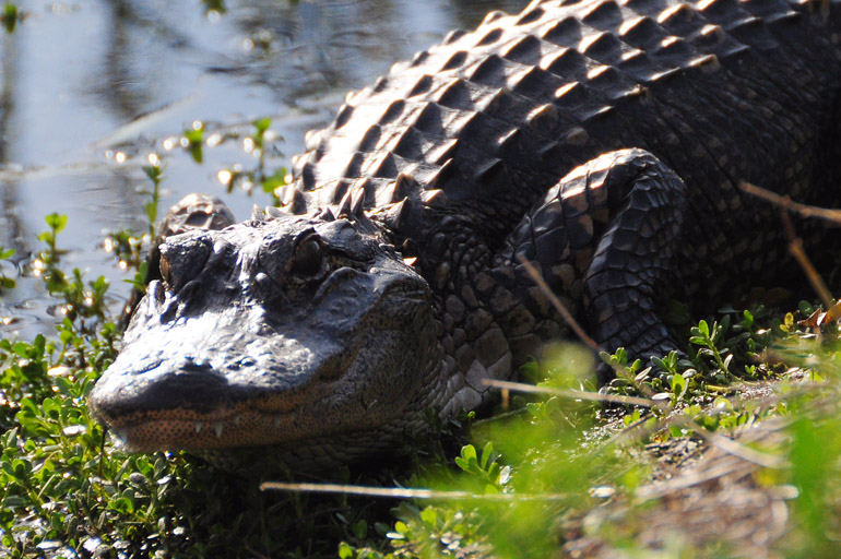 web_alligator_vierawetlands_0030
