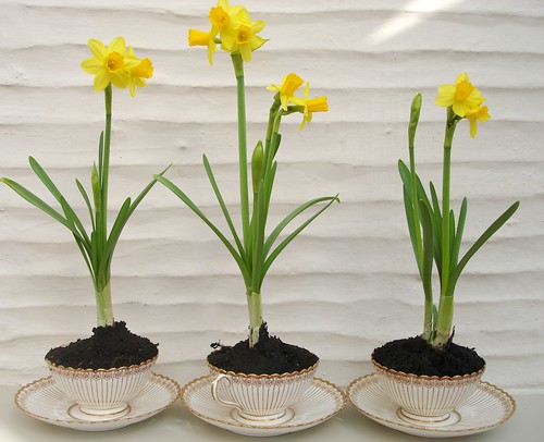 Miniature daffodils in vintage tea cups