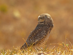 Coruja-buraqueira (Burrowing Owl) (Bertrando) Tags: nature birds wildlife natureza aves birdwatching pssaros athenecunicularia burrowingowl corujaburaqueira specanimal 10nw doublyniceshot 5wonderwall