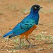 Superb Starling (David Mercer)