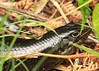 Land Mullet (Egernia major) (macca_1985) Tags: major reptile wildlife australia newsouthwales coffsharbour chrismclean egernia canon70300f456 landmullet canoneos450d