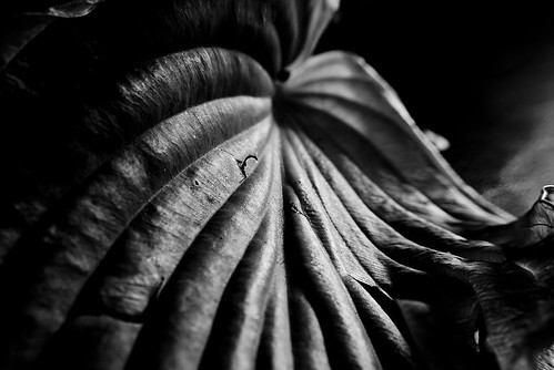 black and whire hosta leaf