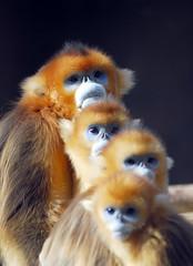 Golden monkey (floridapfe) Tags: animal four zoo monkey golden nikon korea  goldenmonkey