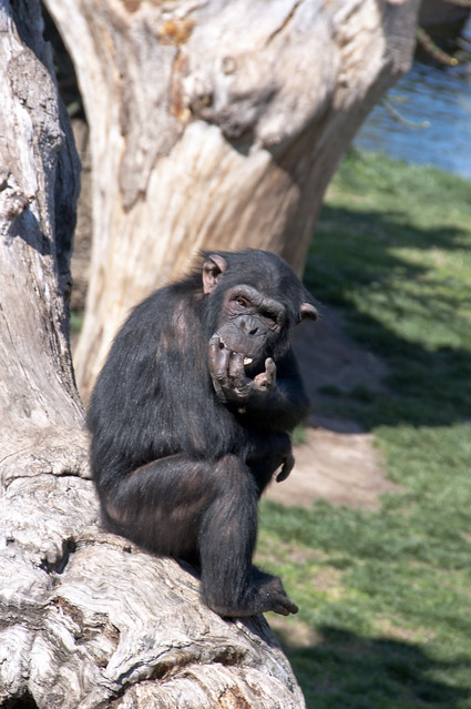 Scimpanzè...