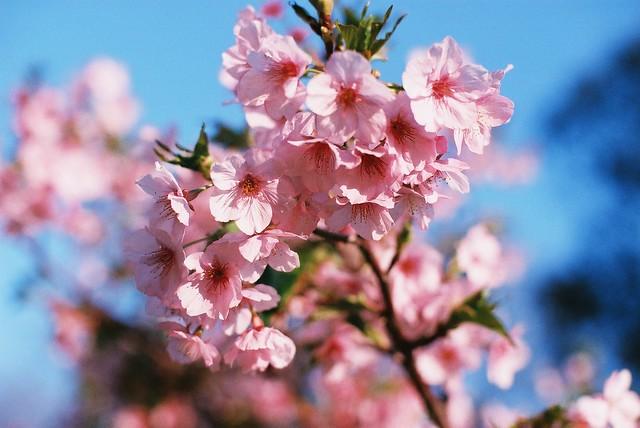新竹也有吉野櫻