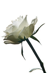 PVV_5928-bewerkt.jpg (Moor Fotografie) Tags: bloemen bloem striplight 2011 snoot flitser strobist flitsen