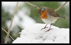 (Alauny) Tags: bird robin oiseau rougegorge supershot sunrays5 freedomtosoarlevel1birdphotosonly freedomtosoarlevel2birdphotosonly freedomtosoarlevel3birdphotosonly freedomtosoarlevel3birdsonly freedomtosoarlevel2birdsonly freedomtosoarlevel3birsdonly