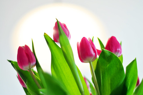 tulips in the light 11/52