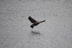 EBRPD - Waterbird Regional Preserve - Canada Goose (JeffManas) Tags: waterbird canadagoose martinezca waterbirdregionalpreserve ebparksok