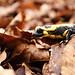 Salamandra en el Montseny 3
