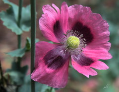 pole dancer (Jus'fi) Tags: flower macro leaves petals stem poppy poledancer jusfi awesomeblossoms