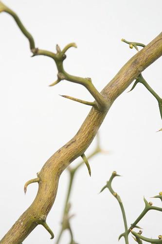 thorny bush 2